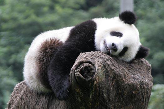 Giant-panda08