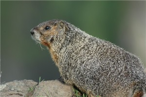 Yellowbellied_marmot_near_palouse_fallsh